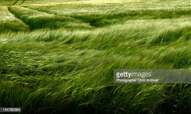 wheat field - wind stockfoto's en -beelden