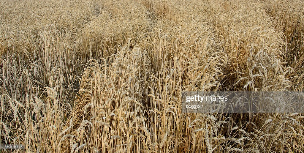 Weizen field : Stock-Foto