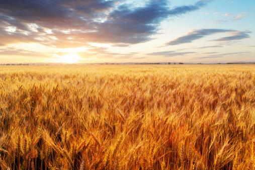 Wheat field 480759995