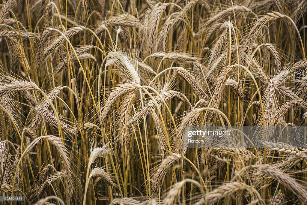 wheat field : Stock Photo