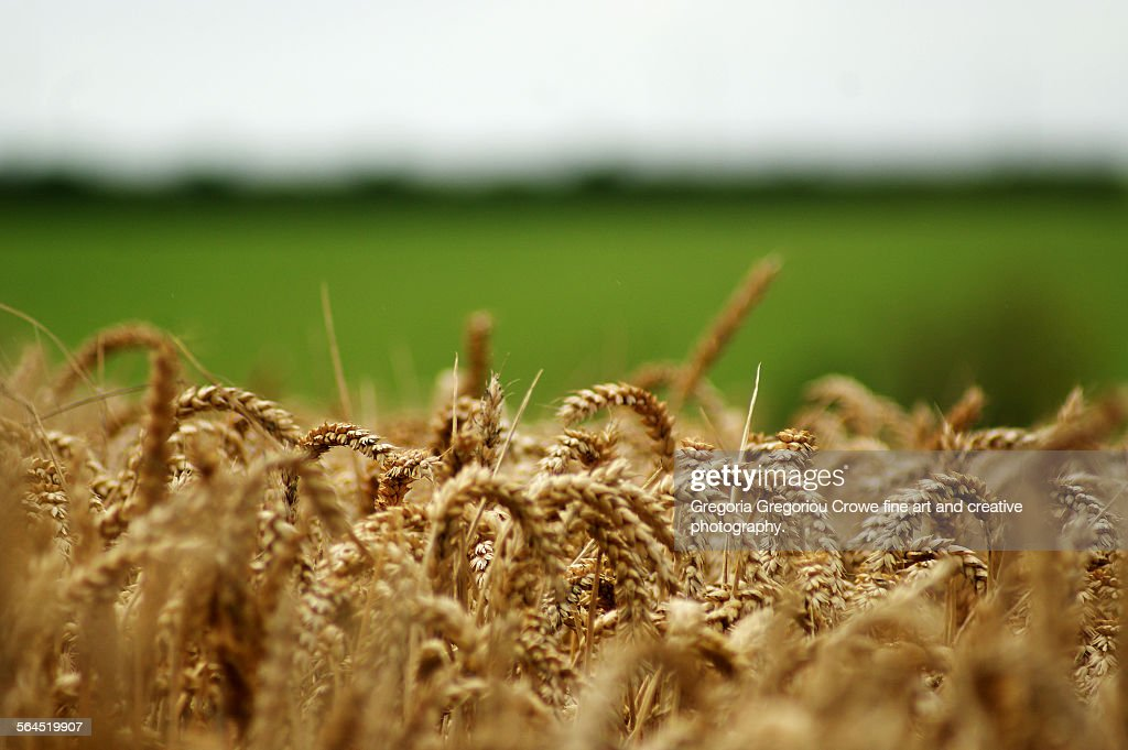 Wheat Field : Stock Photo