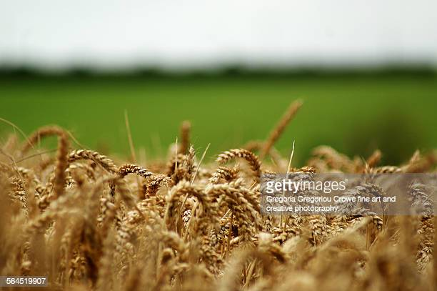 wheat field - gregoria gregoriou crowe fine art and creative photography. stock pictures, royalty-free photos & images