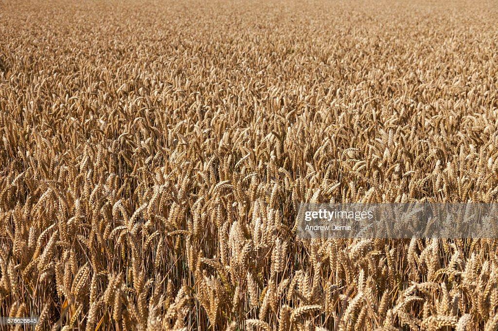 Wheat field : Foto de stock