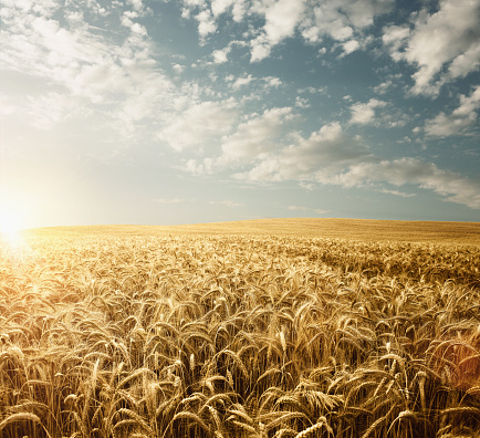 Wheat field 586928374