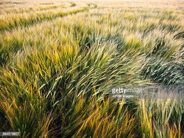wheat field - västra götalands län stockfoto's en -beelden