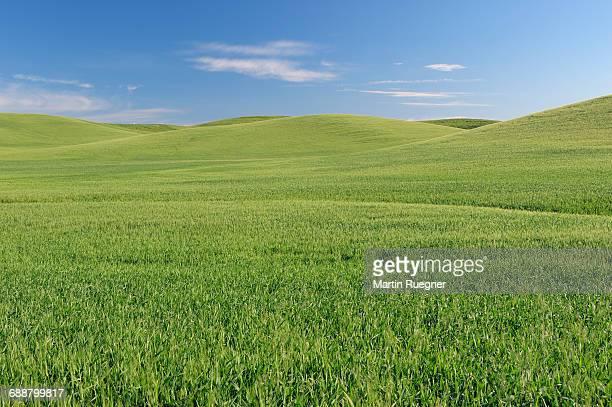 wheat field. - paesaggio collinare foto e immagini stock