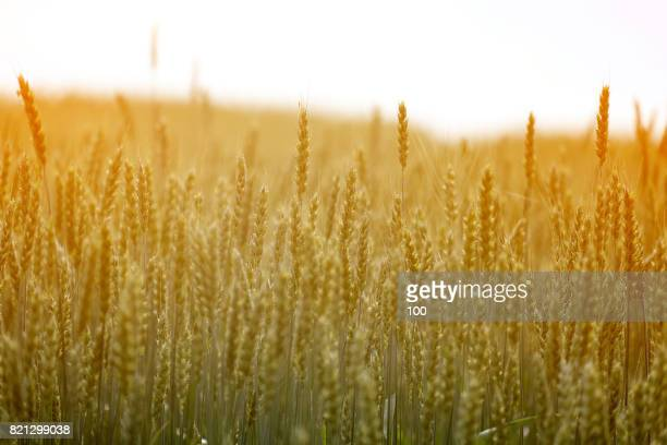 wheat field - rye grain stock pictures, royalty-free photos & images