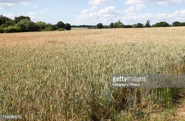Wheat field rolling countryside summer landscape Sutton Suffolk England UK