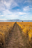 partly cut wheat field with sky