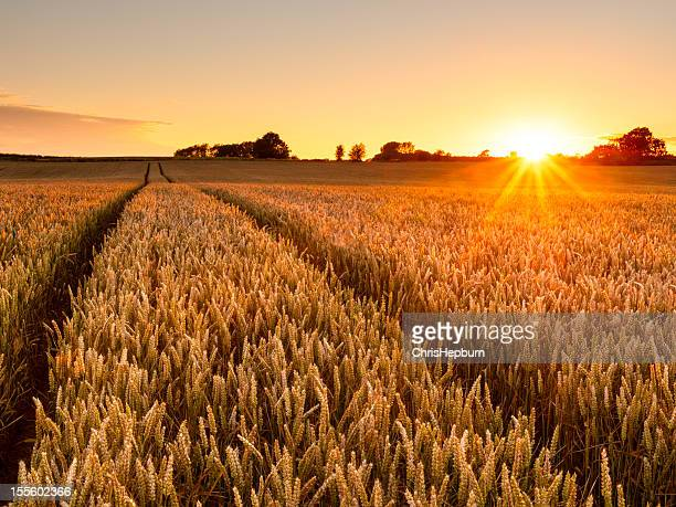 wheat field sunset - wheat stock pictures, royalty-free photos & images