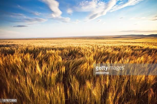 Weizen Feld schwanken unter der Sonne