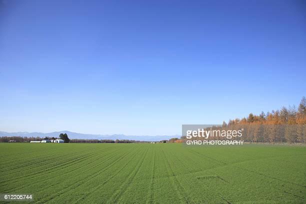 Wheat field, Tokachi, Hokkaido, Japan