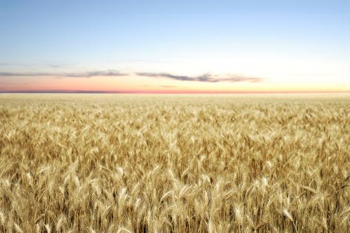 XXL wheat field twilight 184394237