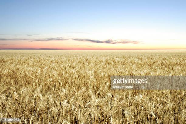 XXL wheat field twilight