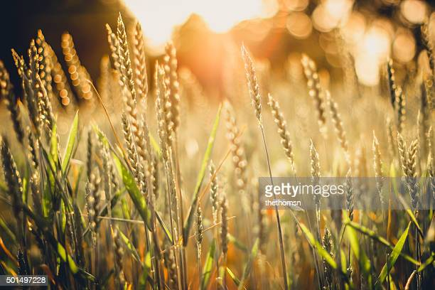 Wheat field with burning sunset backlight