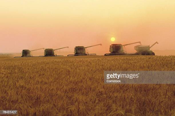 Wheat field with combines harvesting crop