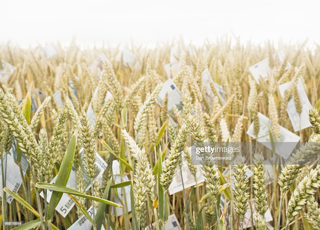 Wheat Field with money : Stock Photo