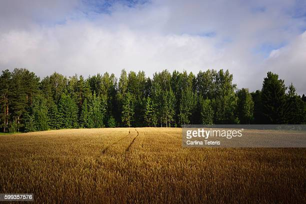 Wheat field with pine trees