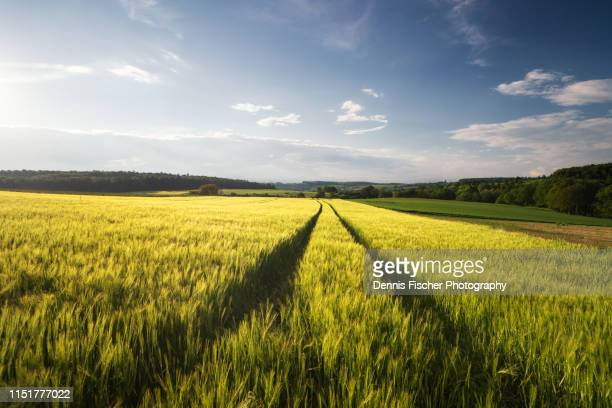 a wheat field with tracks in summer during sunset - wheat stock pictures, royalty-free photos & images