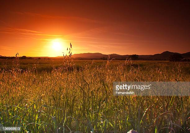 Wheat Field with Trees and Sunset