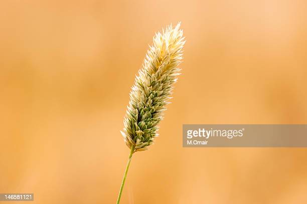 Wheat fields in Hala