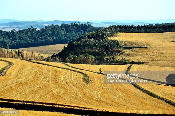 Wheat fields in Londrina, Brazil.