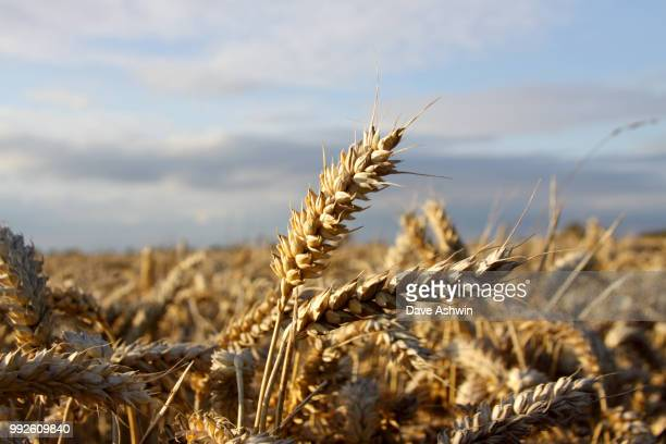 wheat fields - dave ashwin stock pictures, royalty-free photos & images