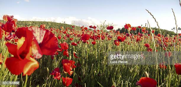 wheat fields  with poppies close up - dew_point stock pictures, royalty-free photos & images