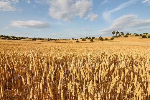 Wheat flields 874147316