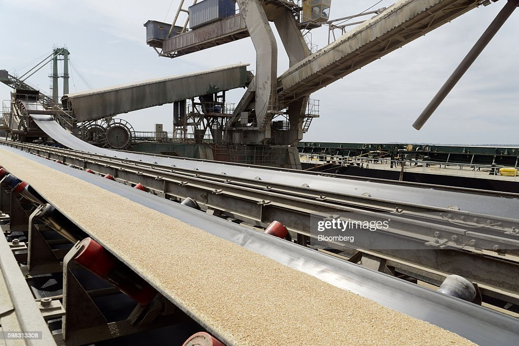 Wheat grain flows along a conveyor belt before being pumped into the