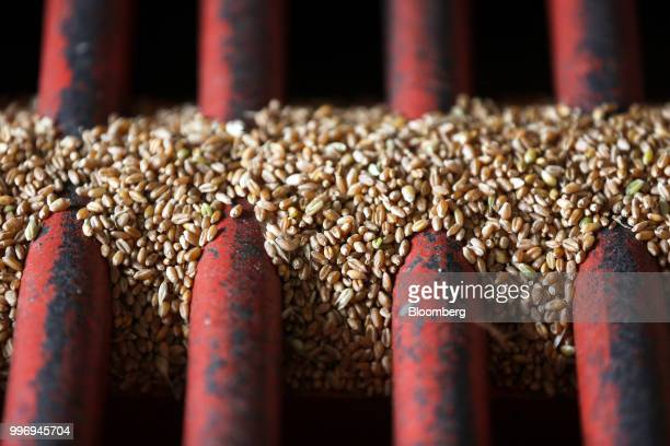 Wheat grain is unloaded during the summer wheat harvest on a farm operated by Ros Agro Plc in Kazinka village outside Belgorod Russia on Wednesday...