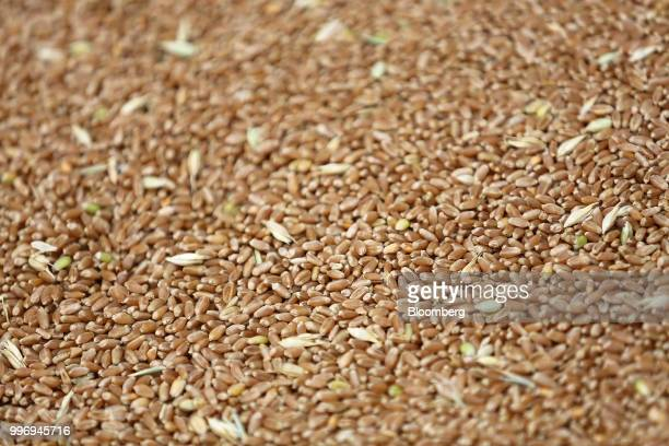 Wheat grains sit in a storage facility during the summer wheat harvest on a farm operated by Ros Agro Plc in Kazinka village outside Belgorod Russia...