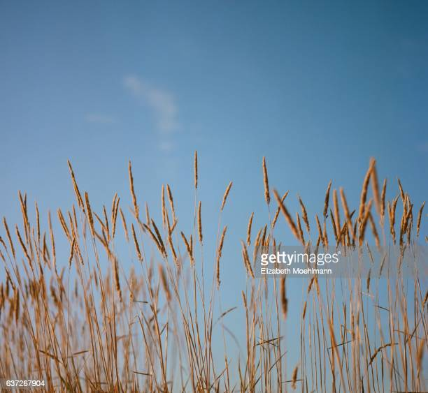 wheat grass and blue sky, montana - wheatgrass stock photos and pictures