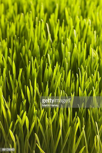 Wheat grass. Close up