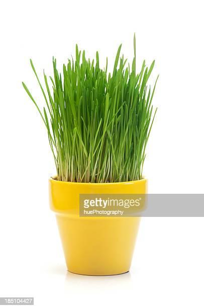 Weizen Gras