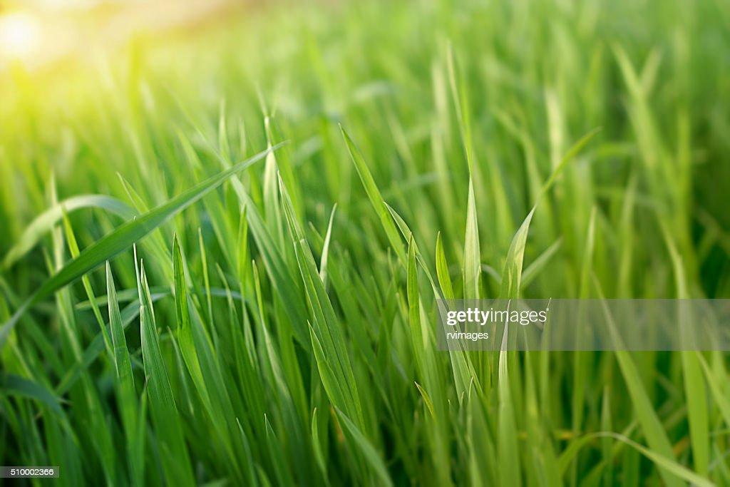 grass blade close up. Blades Of Grass; Grass On White; Wheat Blade Close Up O