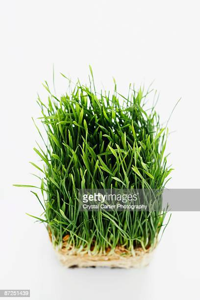 wheat grass - wheatgrass stock photos and pictures