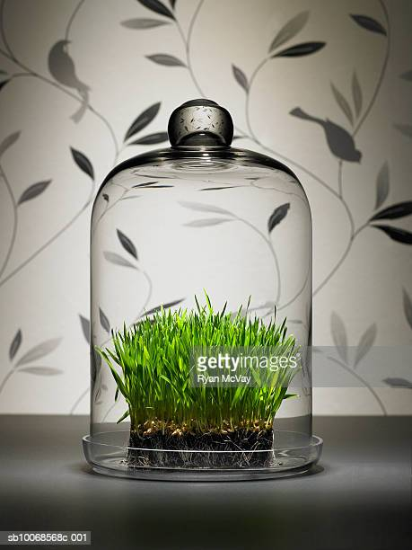 Wheat grass under glass dome