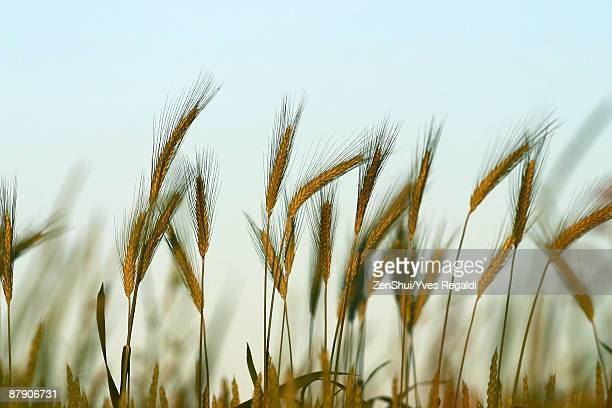 Wheat growing, close-up