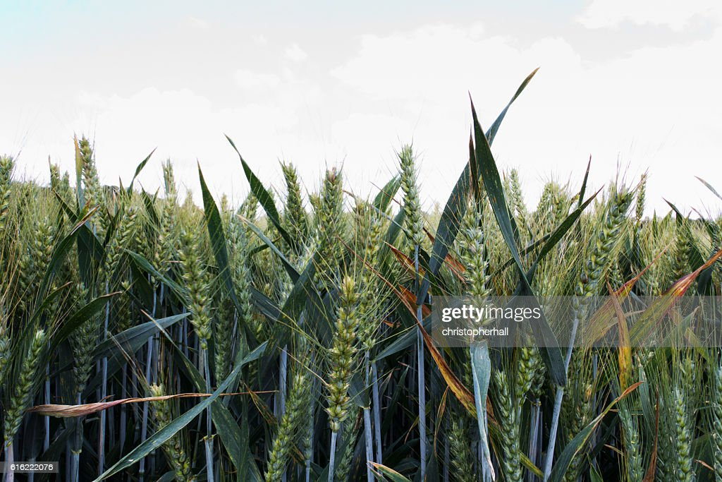 Wheat growing in a field in the Chilterns : Stock Photo