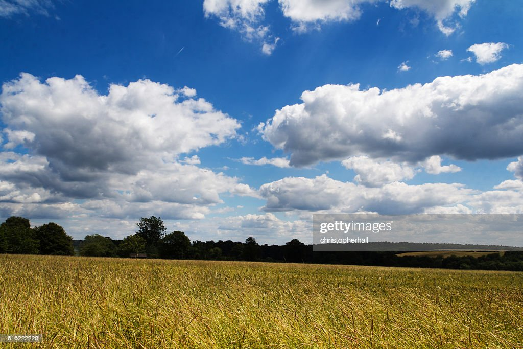 Wheat growing in a field in the Chilterns : Foto stock