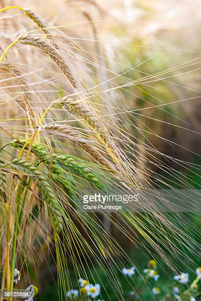 wheat growing in a field - claire plumridge stock pictures, royalty-free photos & images