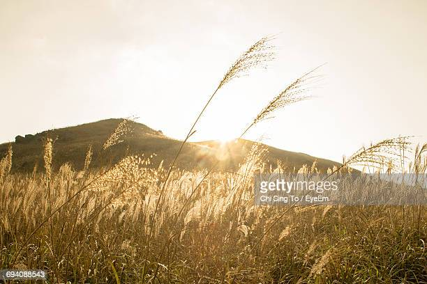 Wheat Growing On Field Against Sky During Sunset