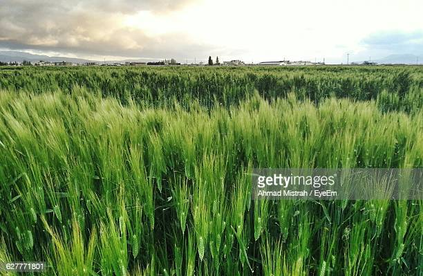 Wheat Growing On Field Against Sky