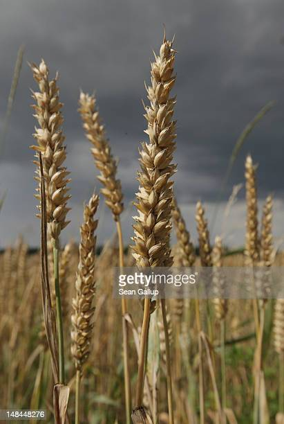 Wheat grows on a farmer's field as a storm cloud passes by on July 16 2012 near Diedersdorf Germany Analysts are predicting a drop in northern...