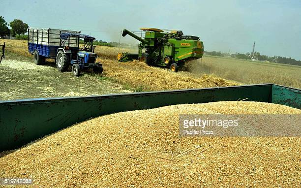 Wheat harvesting in full swing ahead of Baisakhi festival at the village of Baran