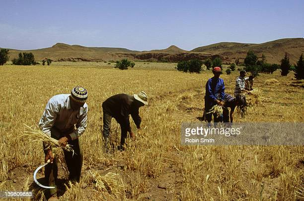 Wheat harvesting with sickle, Ouararzazate, Morocco