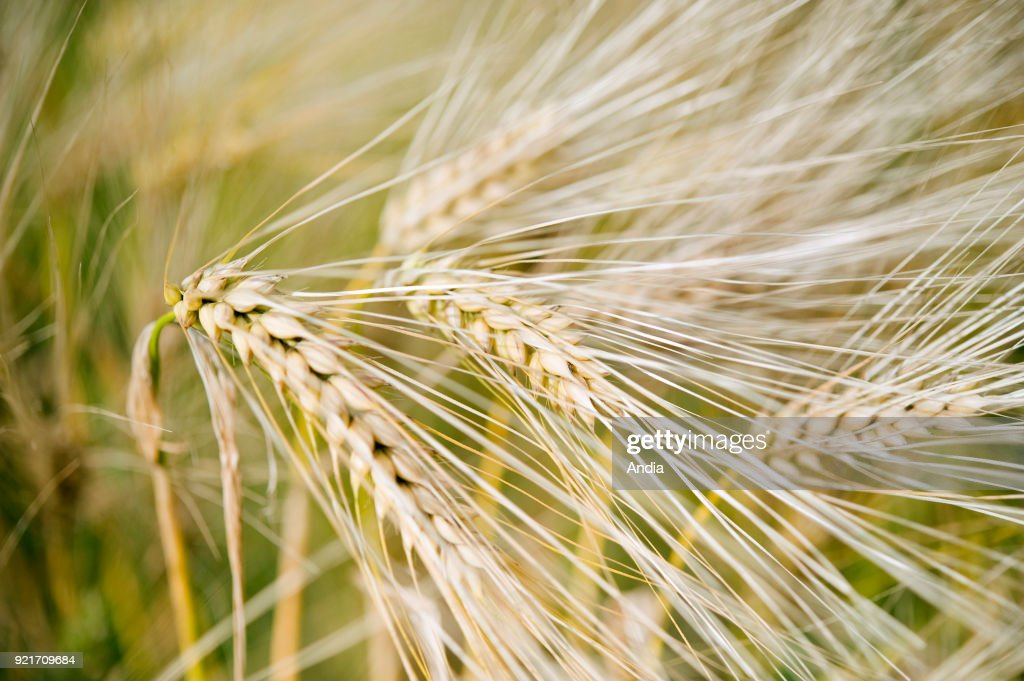 Wheat in a field, close-up shot of a ear.