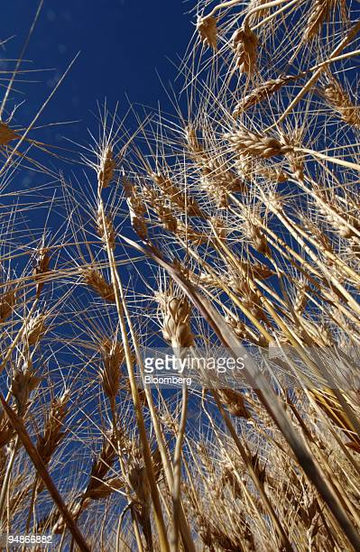 Wheat in a field is pictured just before Bryan Mitchell harvests this spring wheat crop in a John Deere combine in a field in Center, Colorado in the...