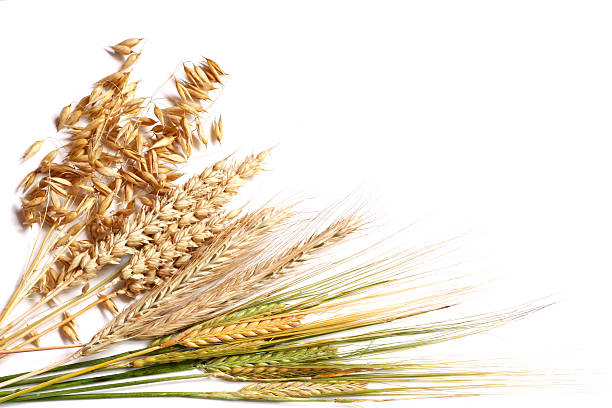 "themes in the grain of wheat by ngugi ""a grain of wheat"" by ngugi wa thiong'o the idea that sacrifice is required before kenya attains true nationhood, is one of a range of ideas – others being birth, betrayal, heroism and forgiveness – in the novel ""a grain of wheat"", by ngugi wa thiong'o."